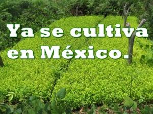 Se descubre el primer cultivo de coca en México. ¿De país de tránsito a productores?