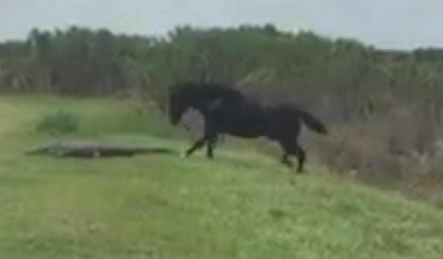 Un caballo ataca a un cocodrilo en Florida. (Video viral)
