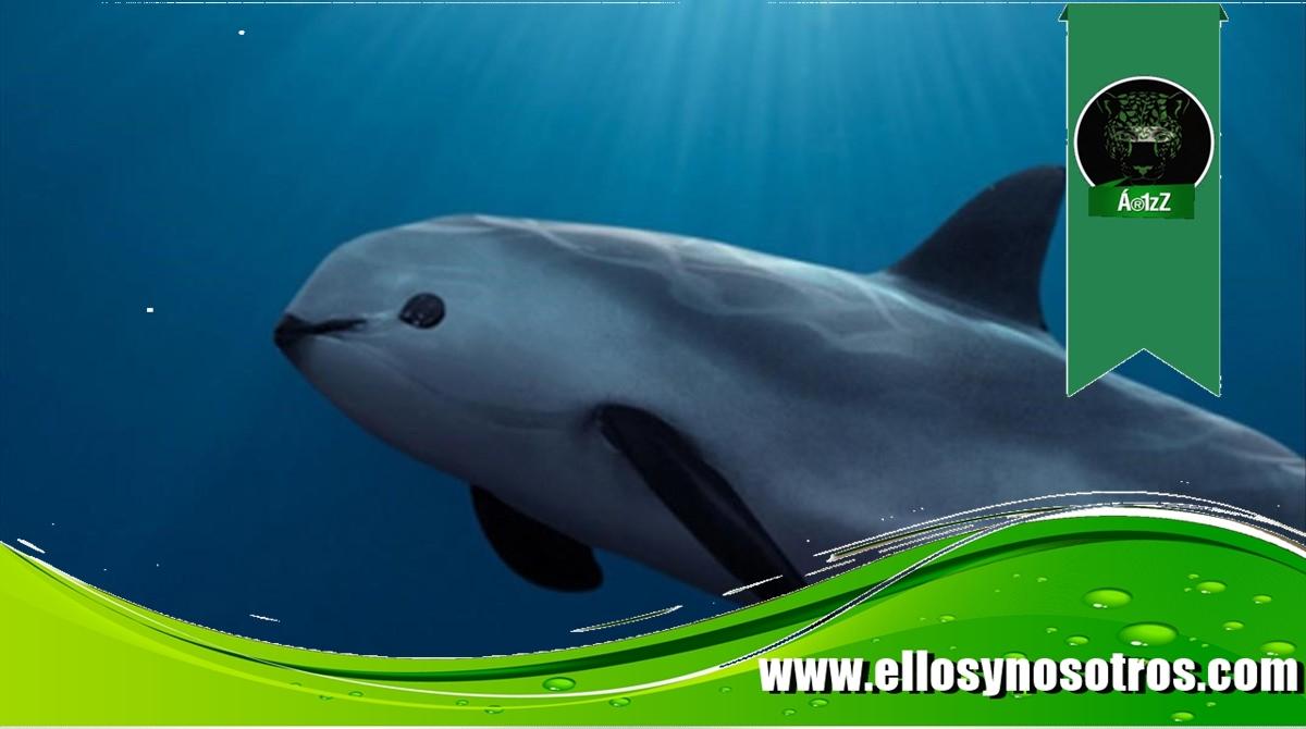 Avistan a dos vaquitas marinas en el Golfo de California. La especie está prácticamente extinta.