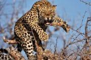 Un leopardo hiere a varias personas en Indore, India